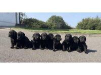Beautiful black Labrador IKC registered pups for sale