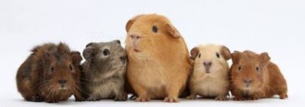 Wanted baby Guinea pig  Craigmore Playford Area Preview