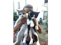Cute kittens, lively, friendly, healthy, 12 weeks old, brother and sister. sold as a pair, £50