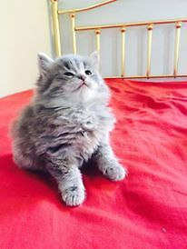 Persian Kittens (mix breed) for Sale