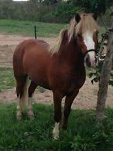 Flaxen Chestnut Sabino Welsh A Stallion Ilbilbie Isaac Area Preview