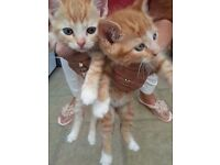 4 x Ginger Kittens For Sale £50 Each