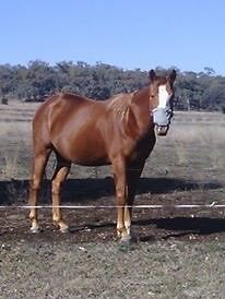 PHAA reg #B13819 Mare Allora Southern Downs Preview