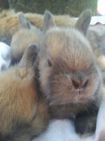 Chevy's Baby bunnies for sale