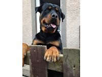 3 year old rottweiler