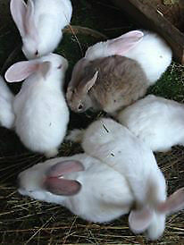 New Zealand White/Californian Rabbits