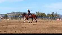 Lovely Sensible Young Tb Toowoomba Toowoomba City Preview