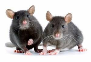 2 female rats 5-7 weeks old Tea Tree Gully Tea Tree Gully Area Preview
