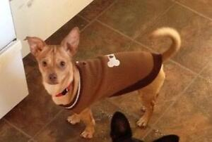"""Young Male Dog - Chihuahua: """"Dillon"""""""