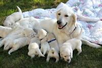 CKC Reg. English type Golden Retriever pups  March Litter