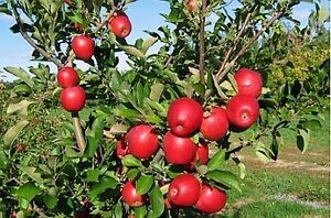 Local apples for sale