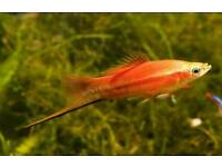 Swordtail fish adults and babies