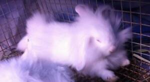 "Young Male Rabbit - Mini-Lop: ""Christmas and Snowflake"""