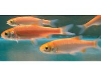 Pond Fish for sale - Blue Orfe and Gold Orfe