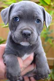 WANTED: English blue staffy pup Chirnside Park Yarra Ranges Preview