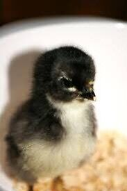 Australorp chicks day old Canning Vale Canning Area Preview