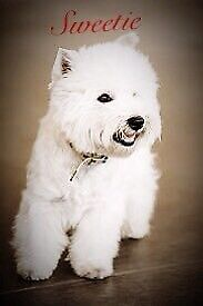 Wanted westies puppy or young