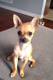 looking for a male Chihuahua for possible breeding