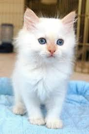 Flame Point Ragdoll kitten available!