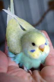 Baby budgie hand reared wanted Joondalup Joondalup Area Preview