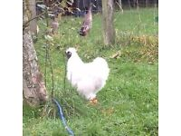 Pure beautiful Silkie cockerels for sale