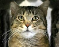 """Adult Female Cat - Domestic Short Hair-Tabby: """"Betty Lou Who"""""""