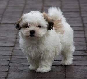 WTB Maltese X Shitzu Puppy Mount Colah Hornsby Area Preview