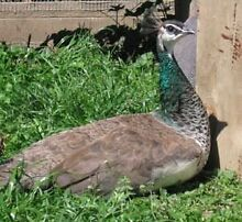 Young peafowl Port Wakefield Wakefield Area Preview