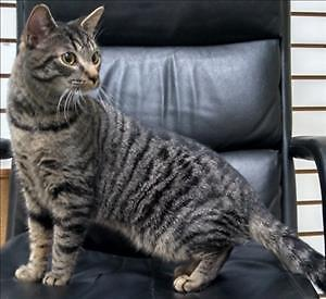 """Young Male Cat - Domestic Short Hair: """"Olie"""""""