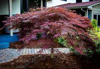 Standard Grafted Weeping Japanese Maples
