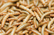Meal worms Kardinya Melville Area Preview