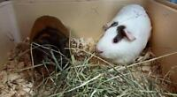 "Young Male Small & Furry - Guinea Pig: ""Cutie & Coco (BONDED)"""