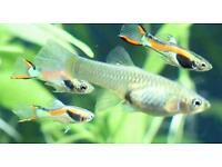 Tropical fish guppies / endlers tiger