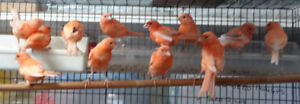 RED FACTOR CANARIES - UNSEXED FLEDGLINGS
