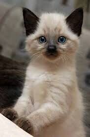 Wanted a siamese Himalayan cat