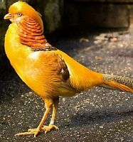 Exotic Pheasants for sale
