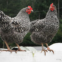 Heritage Breed Chickens - Plymouth Rock - Fertilized Eggs