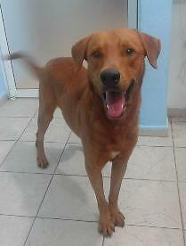 "Adult Male Dog - Labrador Retriever: ""Tucker"""