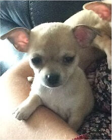 Gorgeous Purebred Smooth Coat Chihuahua Puppy