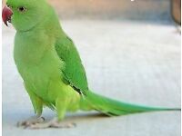 Lost green parrot similar to this one.
