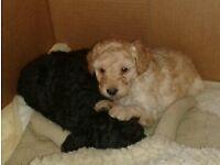 Miniature poodle x toy poodle puppies