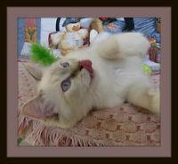 Very Affectionate Ragdoll Kittens