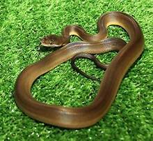 Water Python Hatchlings Howard Springs Litchfield Area Preview