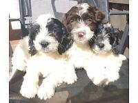 Beautiful cockapoo puppies