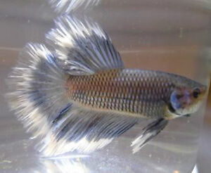Black Orchid Halfmoon Plakat Bettas (Male) Downtown-West End Greater Vancouver Area image 3