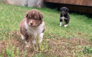 Mini-Australian Shepherd Puppies (2 left) -- Renfrew/Kitchener