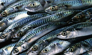 Mackerel for sale
