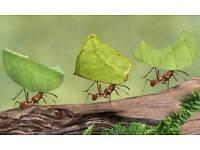 Leafcutting ant set up
