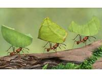 Leafcutting ants