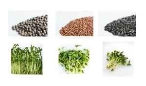 Pea Shoot Seeds - Sprouting Seeds